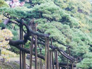 浜離宮_三百年松の枝