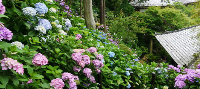 鎌倉の紫陽花(長谷寺・成就院など)