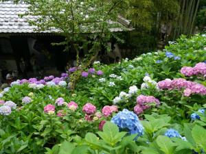 長谷寺の紫陽花と寺と竹
