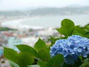 長谷寺の紫陽花と海