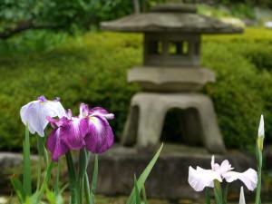 長谷寺の花菖蒲_灯篭と