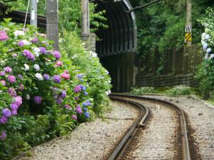江の電そばの紫陽花