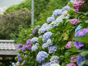 成就院の紫陽花アップ