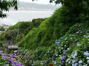 成就院の紫陽花と海