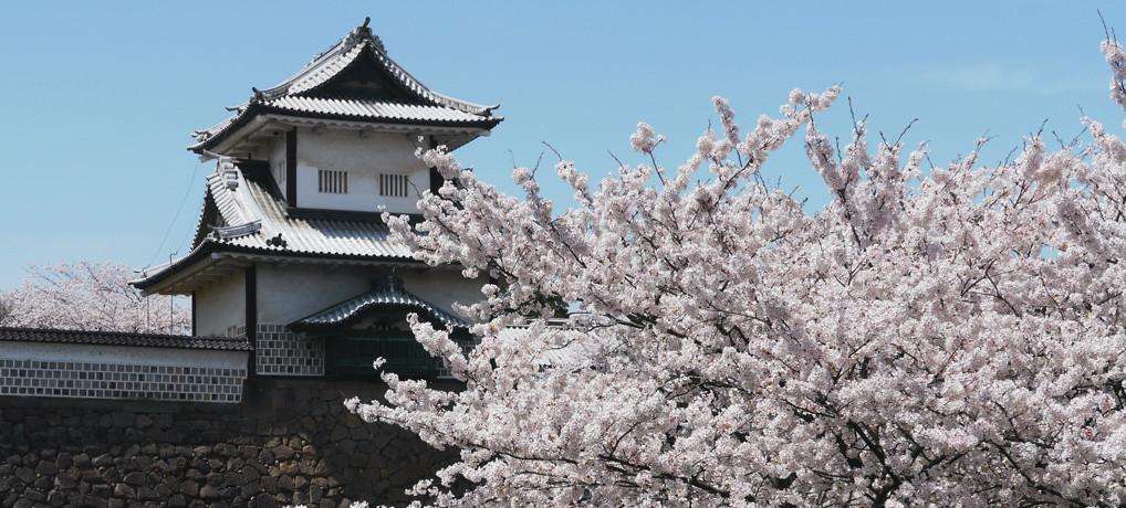 石川門(金沢城)周辺の桜