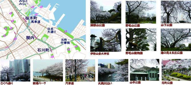 横浜 桜花見スポットマップ ・おすすめ名所