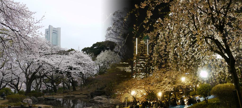 掃部山公園の庭園の桜との広場の夜桜