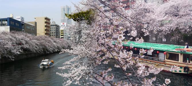大岡川沿い桜並木